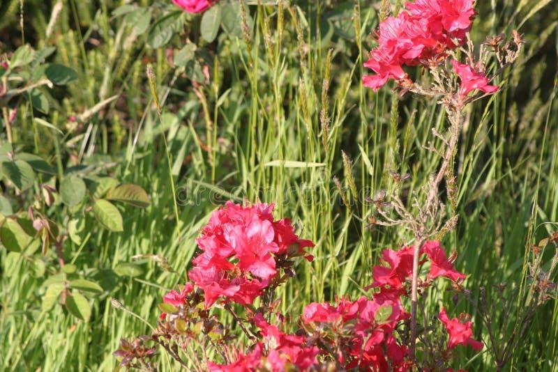 Blommar lantligt rött royaltyfri foto
