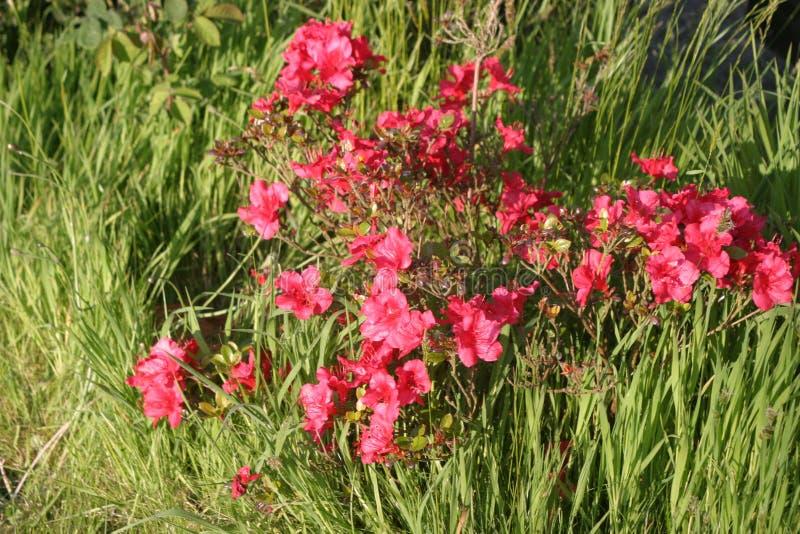 Blommar lantligt rött i trädgård royaltyfri foto