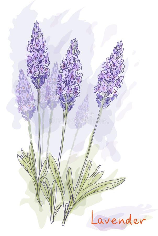 blommar lavandulalavendel royaltyfri illustrationer