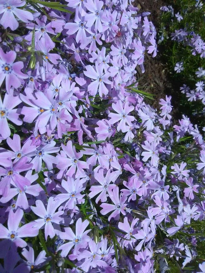 blommar lavendel arkivfoto
