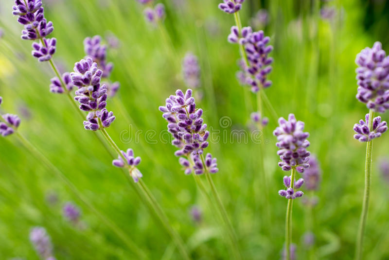blommar lavendel Calmness och avkoppling royaltyfri foto