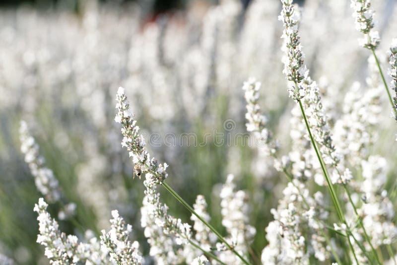blommar lavendelwhite fotografering för bildbyråer