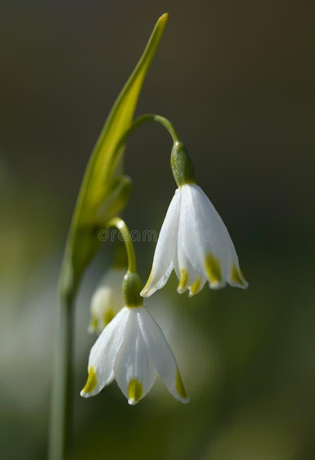 blommar leucojum arkivfoton
