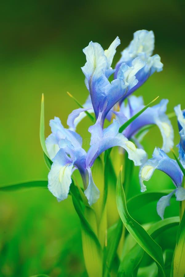 Blommar lila iriers arkivbild