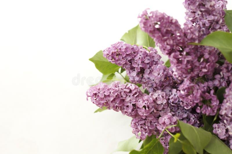 Blommar lilan på en vit bakgrund royaltyfri foto