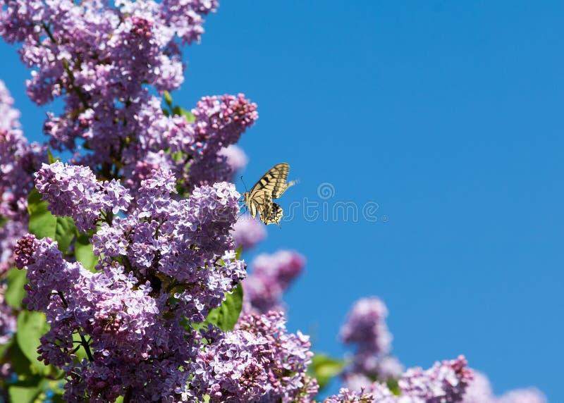blommar lilan Swallowtail fjärilsmachaon arkivbilder