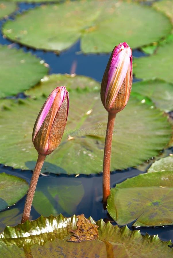 blommar liljadamm royaltyfri fotografi