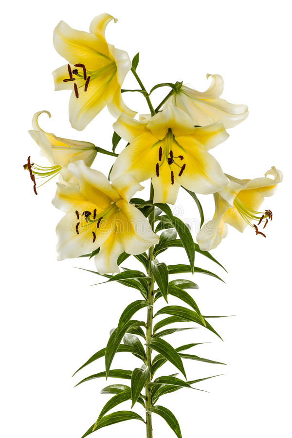 Blommar liljan, lat Liliumösterlänningbland royaltyfri bild