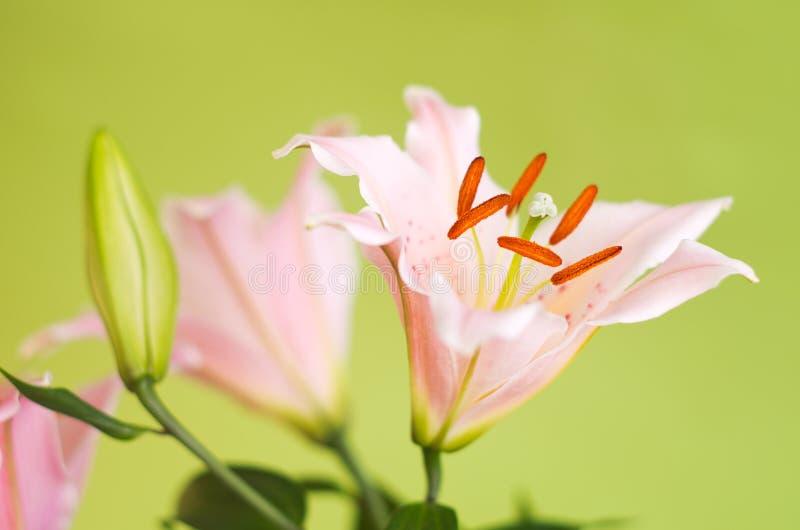 blommar liljapink arkivfoto
