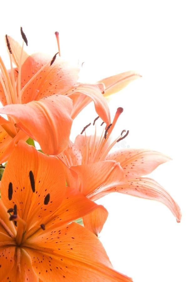 blommar liljatigern arkivbild