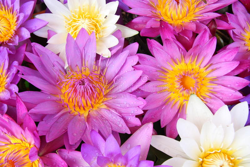 blommar liljavatten royaltyfri fotografi