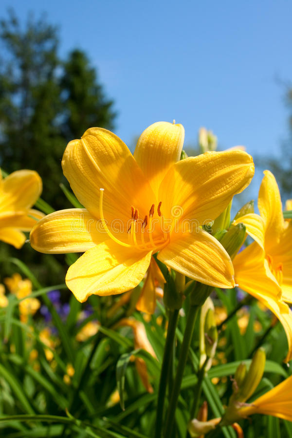 blommar liljayellow royaltyfria bilder