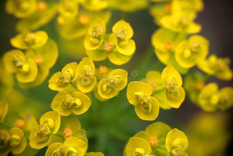 blommar liten yellow royaltyfri foto
