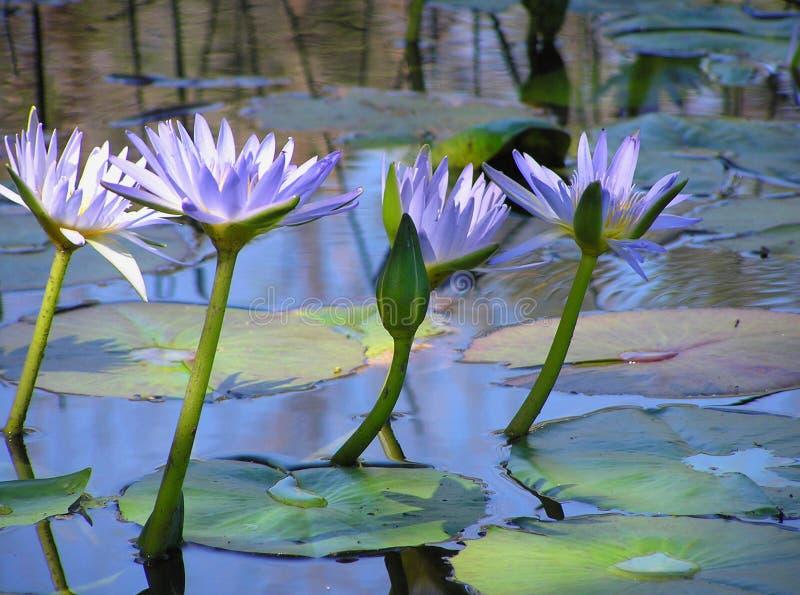 Download Blommar lotusblomma fotografering för bildbyråer. Bild av lilja - 289259