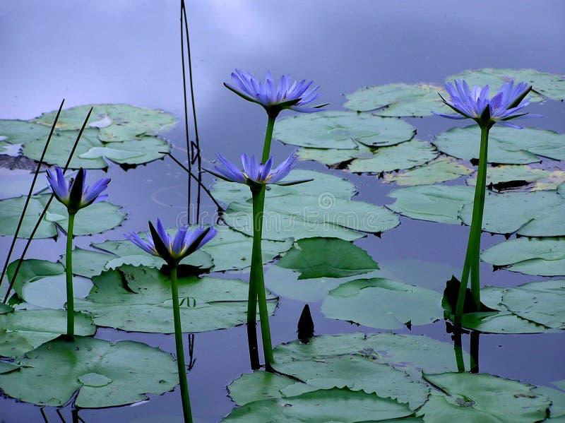 Download Blommar lotusblomma arkivfoto. Bild av fördämning, natur - 289260