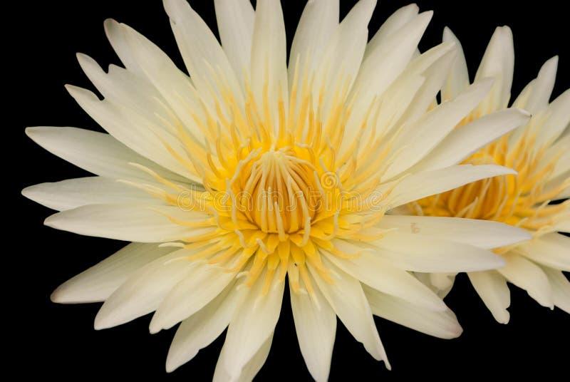 Blommar lotusblomma royaltyfria bilder