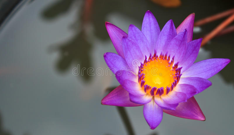 blommar lotusblommapurple fotografering för bildbyråer