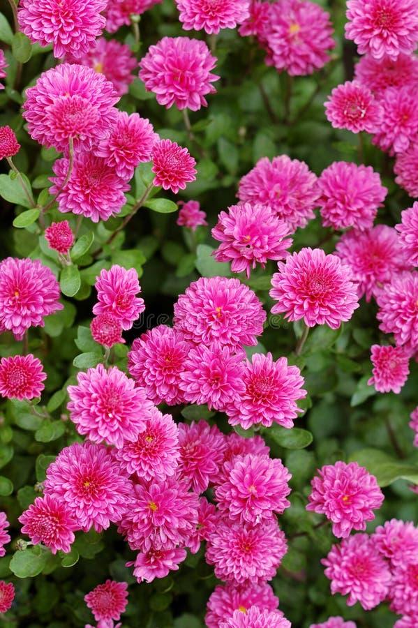 blommar många som är lilla royaltyfri bild
