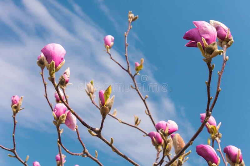 blommar magnoliapink Blommande magnoliaträd på våren mot blå himmel royaltyfria foton