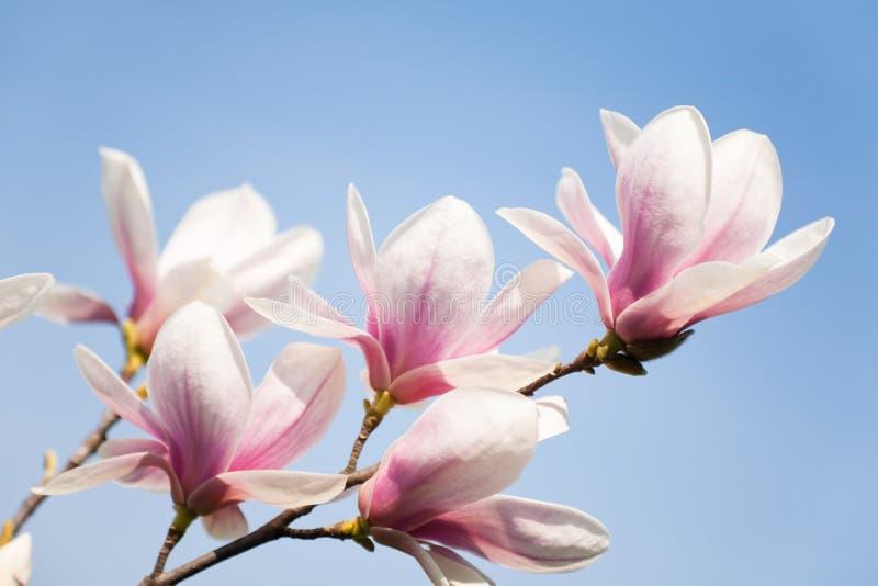 blommar magnoliaskyen royaltyfri bild