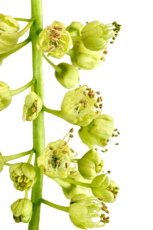 blommar makrolönn arkivbild