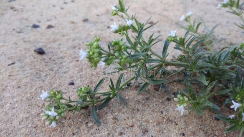 blommar mycket litet royaltyfri fotografi