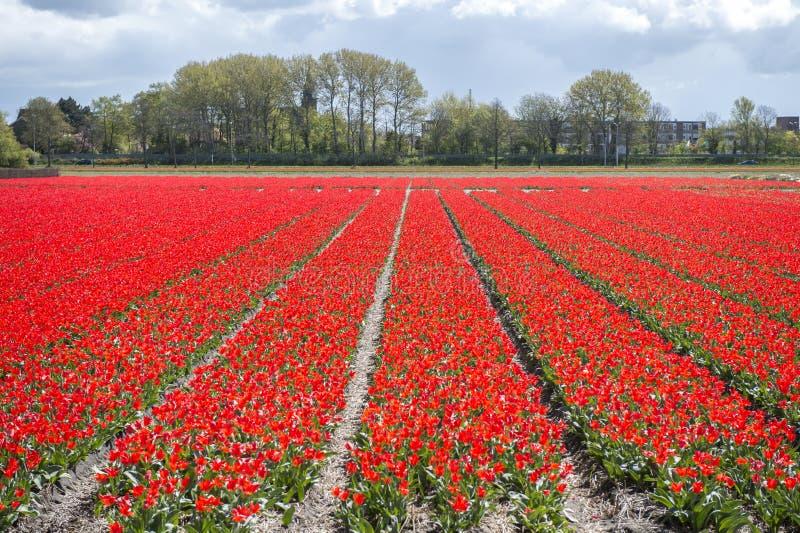 Blommar närliggande Keukenhofen royaltyfri bild