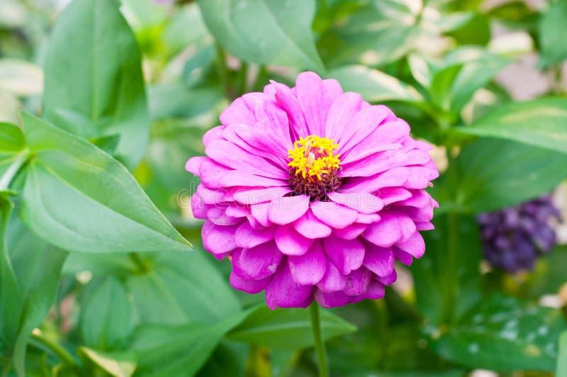 blommar naturzinnia arkivbild