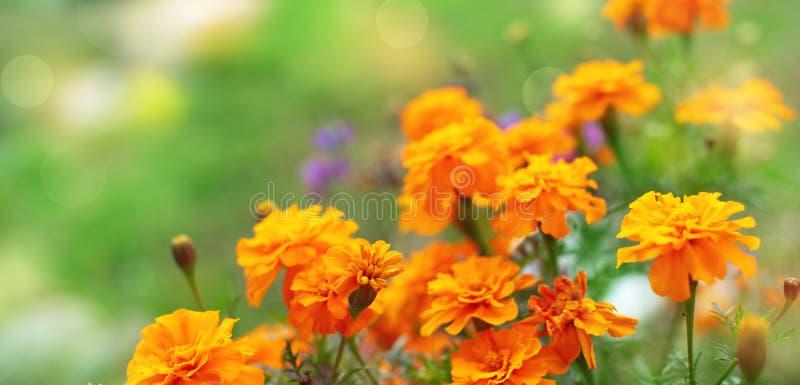 Blommar orange blommor för banerhöst på jordtagetisna i rad bakgrund för den selektiva fokusen för växten för år naturlig suddig royaltyfri foto
