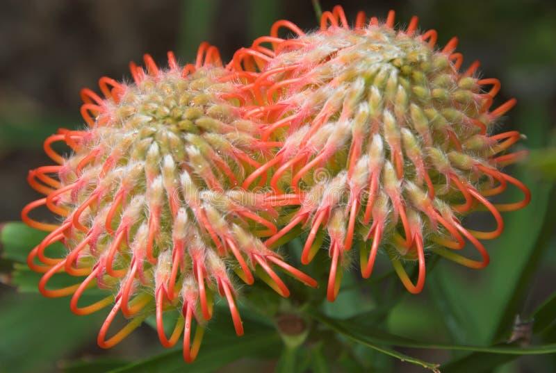 blommar orange spiky arkivbilder
