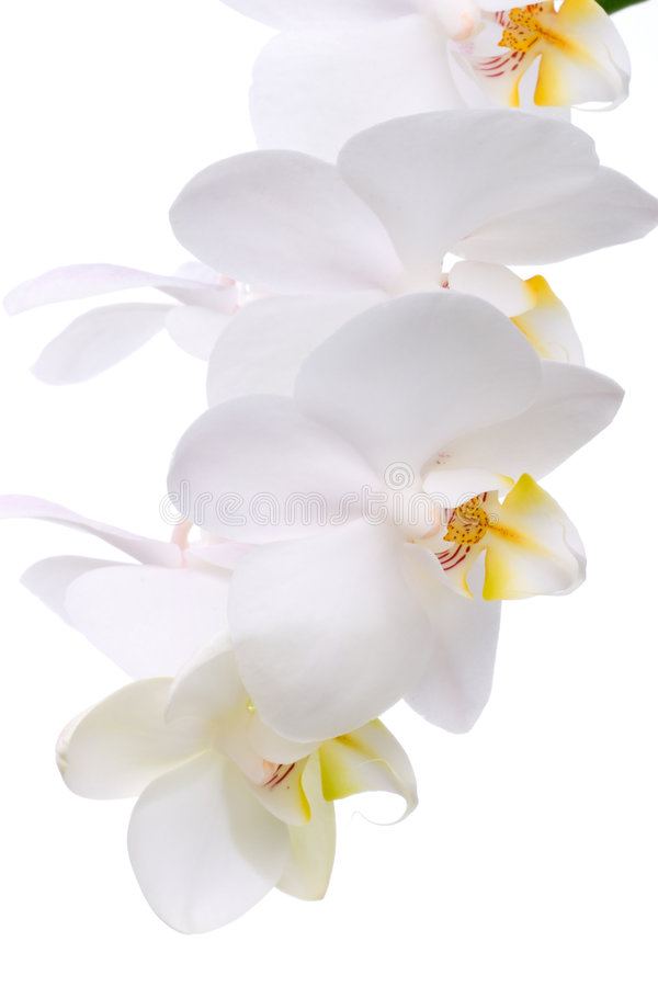 blommar orchidwhite royaltyfri bild
