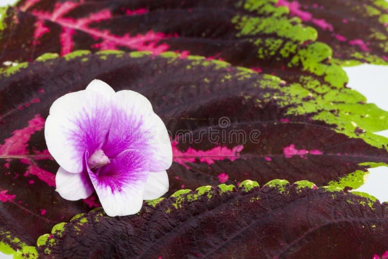 blommar orchidwhite royaltyfri foto