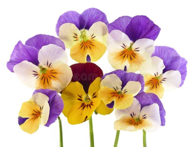 blommar pansyfjädern arkivbild