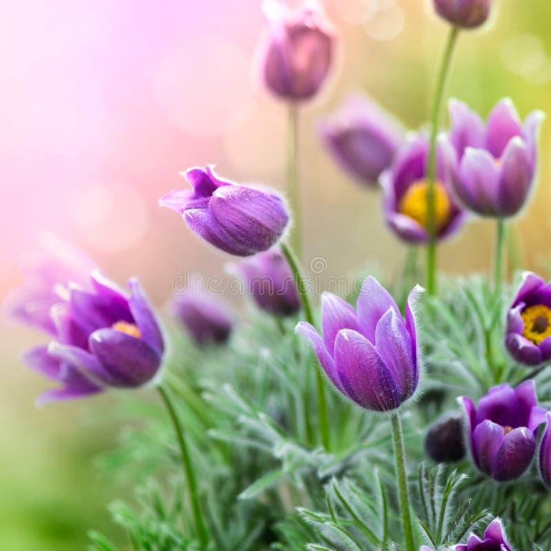 blommar pasquefjädern royaltyfri fotografi