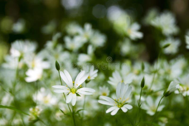 Blommar perennen för större stitchwort för Stellariaholostea i blom, gruppen av vita blommor på grön bakgrund i sinlight arkivbild