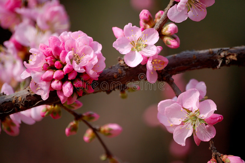 blommar persikan arkivbild