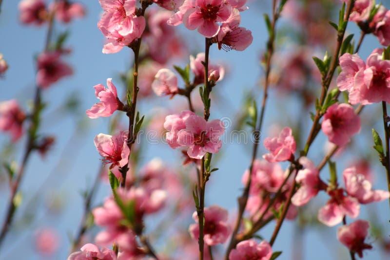 Blommar Persikor Arkivfoto