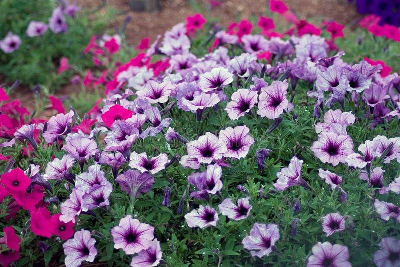 blommar petuniaen arkivbild