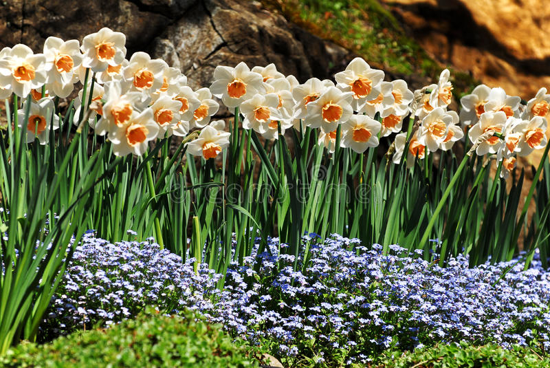 blommar pingstlilja arkivbilder