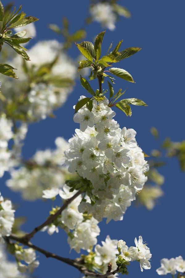 blommar plommonet royaltyfri bild