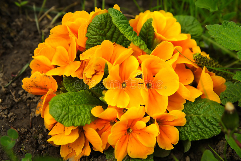 blommar primulawhite arkivfoton