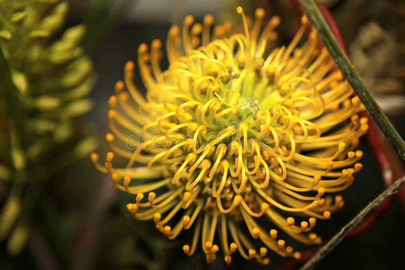 blommar proteaen royaltyfri foto