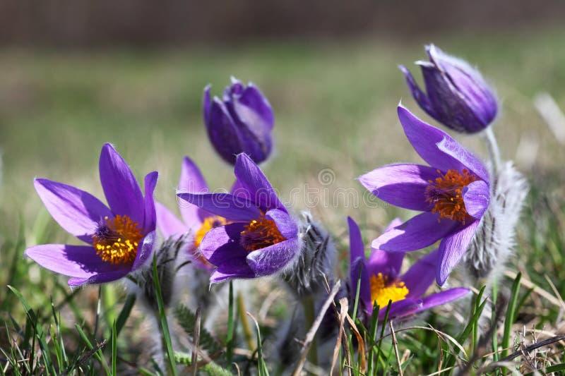 blommar pulsatillafjädern arkivfoton