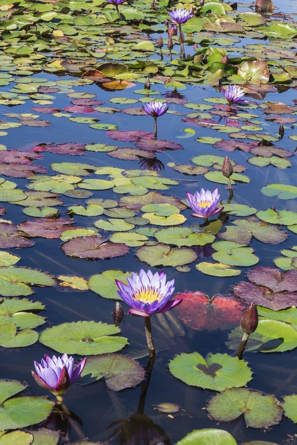 Blommar purpurfärgade lotusblommor i dammet fotografering för bildbyråer