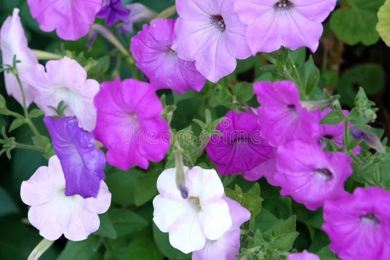 Blommar purpurfärgade petunior i blomsterrabatten royaltyfri fotografi