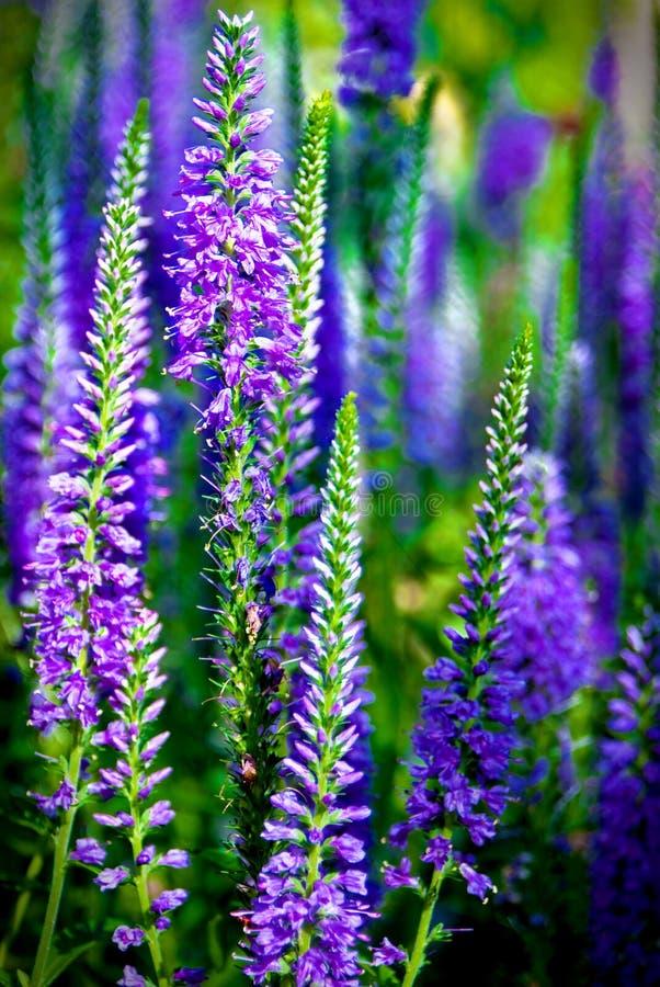blommar purpurt högväxt arkivbild