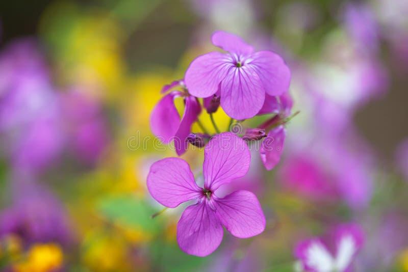 blommar purpurt wild royaltyfria foton