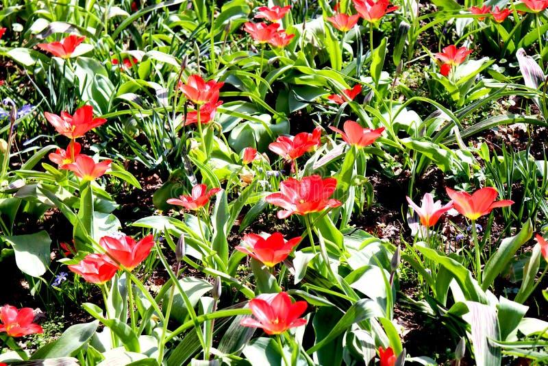 blommar red brittneyen arkivfoto