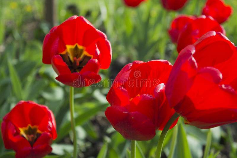 blommar red De röda tulporna royaltyfri foto