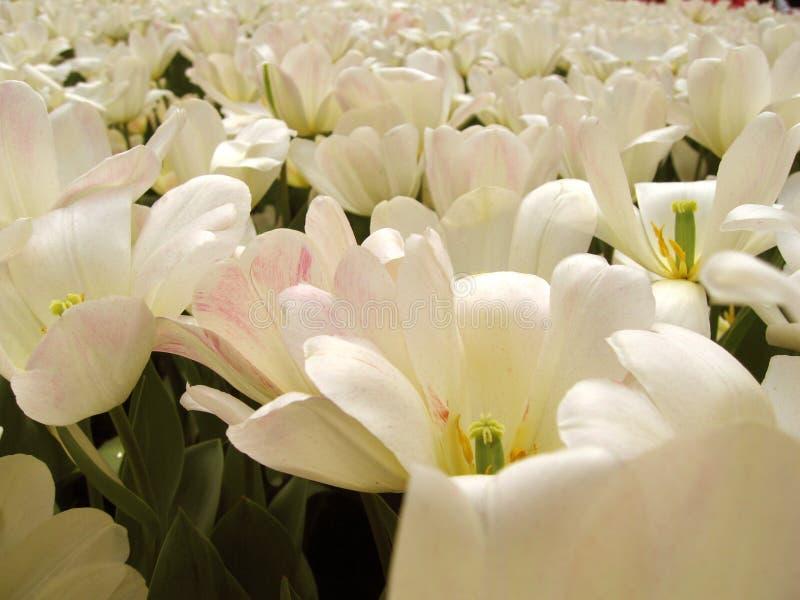 blommar ren white royaltyfri foto